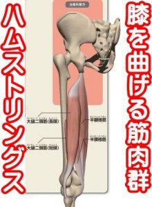 ハムストリングス太腿の裏