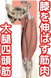 大腿四頭筋太腿の前