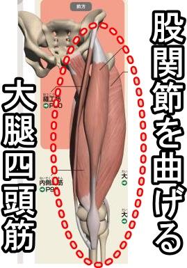 股関節を曲げる大腿四頭筋