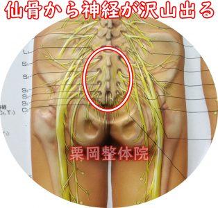仙骨神経叢