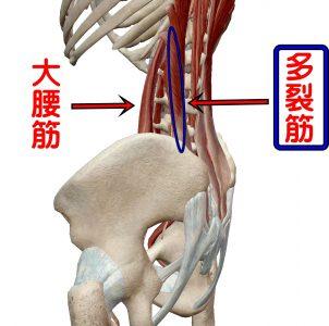 大腰筋と多裂筋